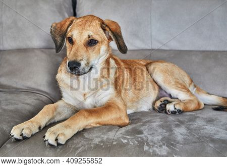 Cute Red-haired Dog With Hanging Ears Is Sitting On The Couch.
