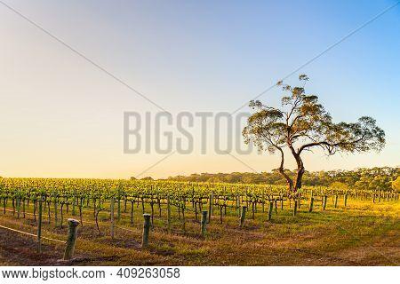 Onkaparinga River Vineyard And A Tree At Sunset, South Australia