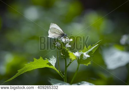 Leptidea Morsei. White Butterfly On Green Leaves. Tender Butterfly On A Meadow Plant. Butterfly Coll