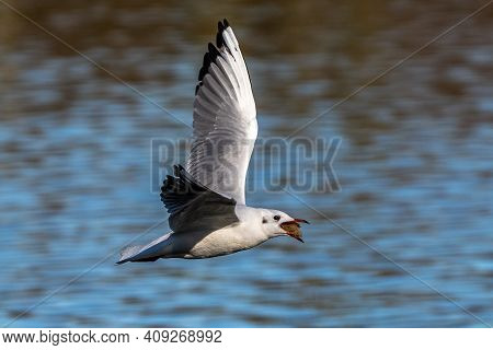 The European Herring Gull, Larus Argentatus Is A Large Gull, One Of The Best Known Of All Gulls Alon