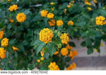 Lantana Camara Multi Colored Flowers On Green Bush. Exotic Flowers Of Tropical Countries.
