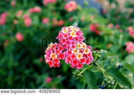 Lantana Camara (big Sage, Wild Sage Or Lantana). Beautiful Small Flowers Tickberry And Green Leaves.