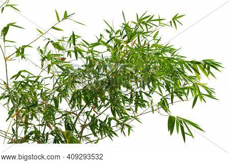 Bamboo Leaves, Isolated On White Background. Fresh, Green Bamboo-leaves, Zen-like. Single Object Wit