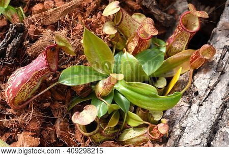Nepenthes Alata, Carnivorous Plant Feeds On Insects, Tropical