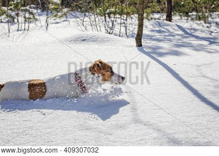 Jack Russell Terrier Hunting In Snowdrifts Near A Tree In The Forest, Horizontal,