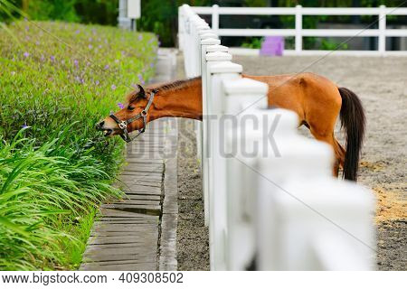 Young Brown Color Horse Have Fun, Reaching Through Fence For Eating Flowers From Green Flowerbed. Do