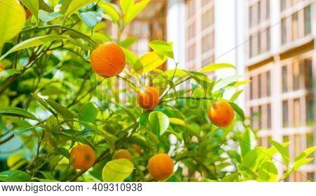 Citrus in the garden, citrus harvest. Kumquat fruits in summer garden. Fortunella japonica citrus kumquats growing at the citrus tree, citrus fruits, citrus tree, sunny citrus plants