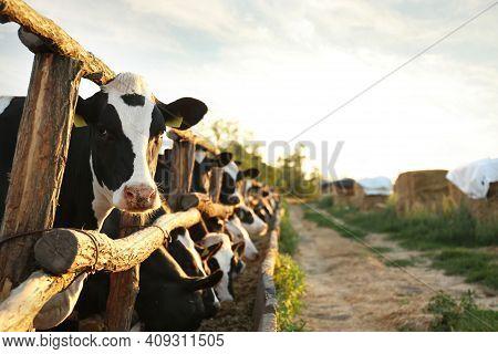 Pretty Cow Near Fence On Farm. Animal Husbandry