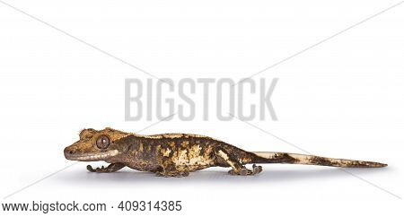 Eye Level Of Brown Yellow Spotted Crested Gecko Aka Correlophus Ciliatus. Walking Side Ways Looking