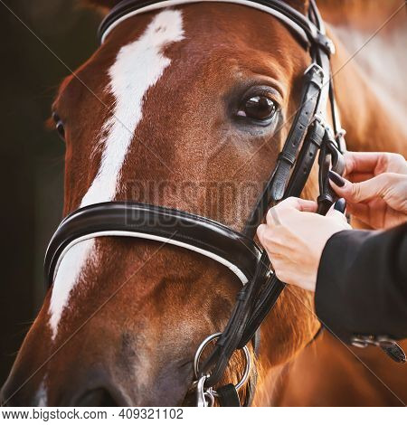 Woman's Hands Adjust The Straps On The Bridle, Which Is Worn On The Muzzle Of A Sorrel Sports Horse,