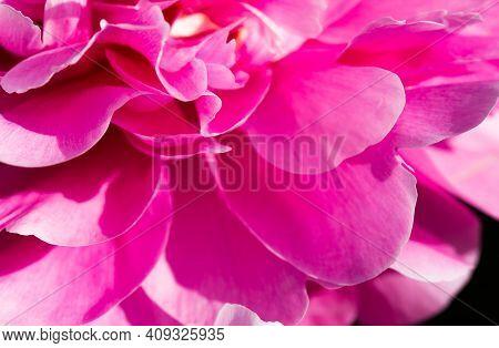 Pink Pion Petal Background. Peony Plant. Spring Flowers