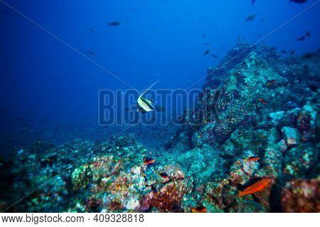 Moorish Idol Fish Swimming Between Corals Deep Underwater