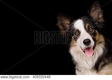 Portrait Of A Border Collie Sheep Dog Isolated On A Black Background