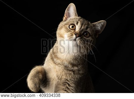 Portrait Of A Gray Kitten Scottish Straight Chinchilla On A Black Background, The Cat Looks At The C