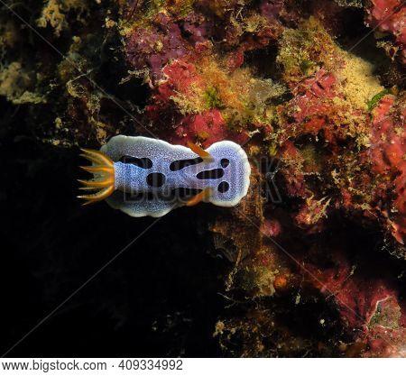 A Chromodoris Dianae Nudibranch Boracay Island Philippines