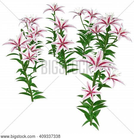3D Rendering Stargazer Asiatic Lily Flowers On White