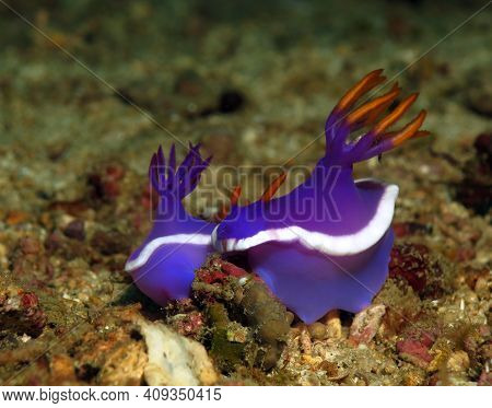 A Pair Of Hypselodoris Sp Nudibranchs Mating Boracay Philippines