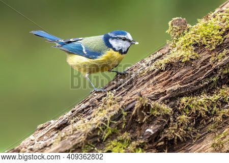 Blue Tit At A Feeding Place At The Mönchbruch Pond In A Natural Reserve In Hesse Germany. Looking Fo