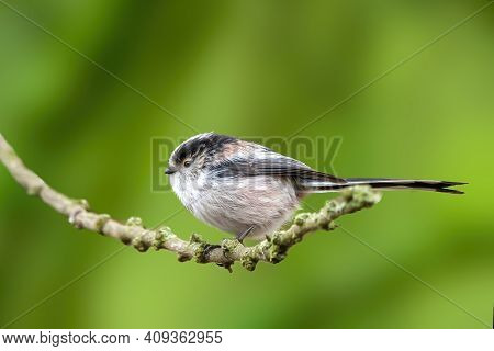 A Long-tailed Tit Sitting On A Branch Of A Tree At The Mönchbruch Pond In A Natural Reserve In Hesse