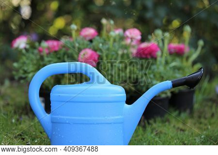 Floriculture Concept.ranunculus Flowers And Watering Can. Growing Buttercups. Spring Flowers. Spring