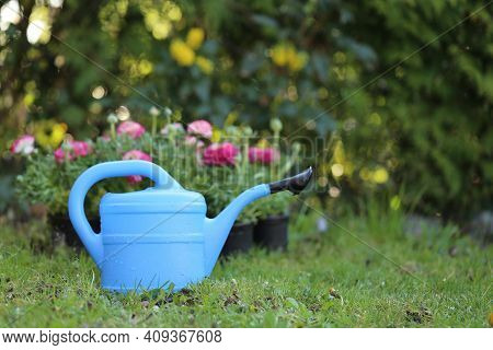 Floriculture .ranunculus Flowers And Blue Watering Can. Growing Buttercups. Spring Flowers. Spring G