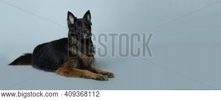 German Long-haired Shepherd Dog Lies On A Gray Isolated Background In The Studio. High Quality Banne