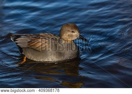A Wild Gadwall Male, A Grey And Brown Dabbling Duck With Black Beak, Swimming In A Blue River On A S
