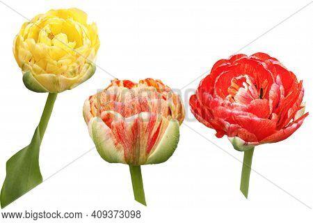 Beautyfull Tulips On A White Background. Isolated