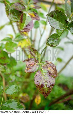 Fungal Diseases Of Rose Leaves - Gray Rot, Rust, Powdery Mildew, Spots. Diplocarpon Rose Spot