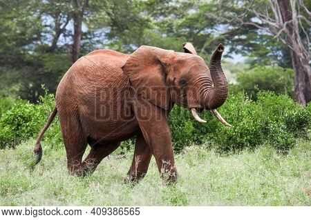 Elephant Running With A Trunk Raised In A Green Bush