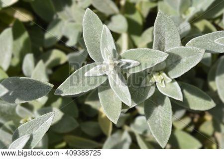 Lambs Ears Silver Carpet - Latin Name - Stachys Byzantina Silver Carpet