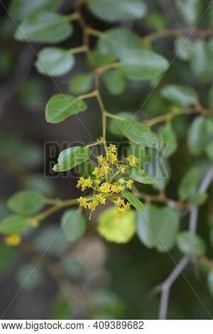 Christs Thorn Branch With Flowers - Latin Name - Paliurus Spina-christi