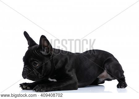 side view of curious lovely french bulldog doggy sniffing and laying down isolated on white background in studio