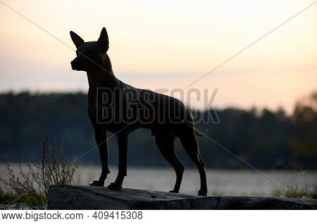 Xoloitzcuintle (mexican Hairless Dog) Silhouette  Standing On Stone Against  Sky In Gentle Rays Of S
