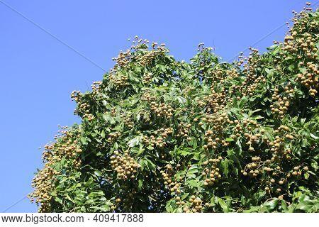 Tropical Fruits Young Longan In Lamphun, Thailand