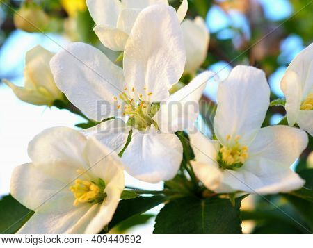 White Flowers Of An Apple Tree Close-up. Petals, Pistils, Stamens. Blooming Fruit Bush In Spring. Ge