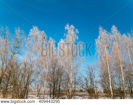 A Birch Tree Covered With Frost In Winter Against A Blue Sky. Birch Grove. Tree Branches. Frosty Wea