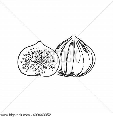 Figs. Realistic Vector Illustration Of Plant. Fruit Of Fig Tree Isolated On White Background. Vintag
