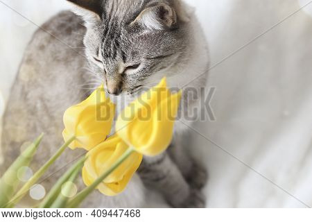 Thai Grey Tabby Cat Smelling The Flowers. Photo Spring Greeting Card With Yellow Tulips And Animals.