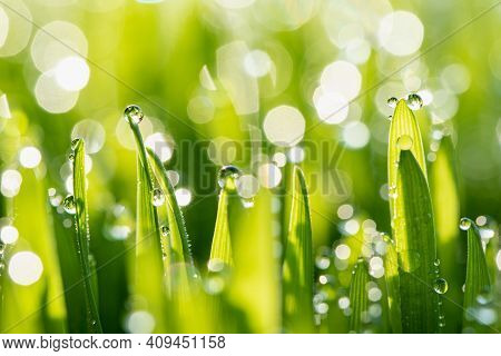 Wet Spring Green Grass Backround With Dew Lawn Natural.
