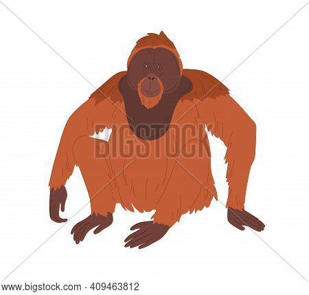 Bornean Orangutan Or Large Brown Hairy Ape With Long Limbs. Reddish Shaggy Monkey Sitting Isolated O