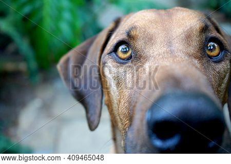 Big Brown Dog Looking Straight At Camera