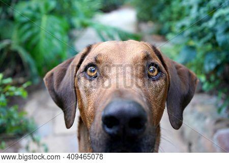 Close Up Of A Big Brown Dog Looking At Camera