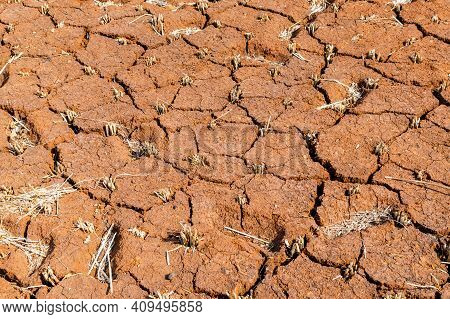 Remains Of Paddy Also Known As Rice In The Red Soil With Cracks On It. After Harvesting Of Paddy The