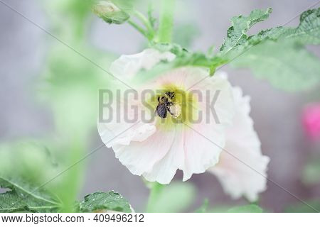 Bumble Bee Pollinating A Beautiful Old Fashioned Soft Pink Hollyhock, Althaea Rosea (alcea Rosea), F