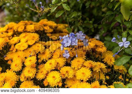 Yellow Flowers In A Garden On The North Side Of The Central Park, Manhattan, New York City, New York