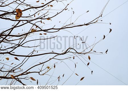 Restrained Beauty Of Nature, Yellow Autumn Leaves On Tree Branches Against Gloomy Blue Sky