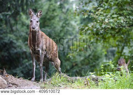Male Siberian Musk Deer With Long Fangs. Portrait Of Cute Musk Deer With Terrible Sharp Tusks In Sum
