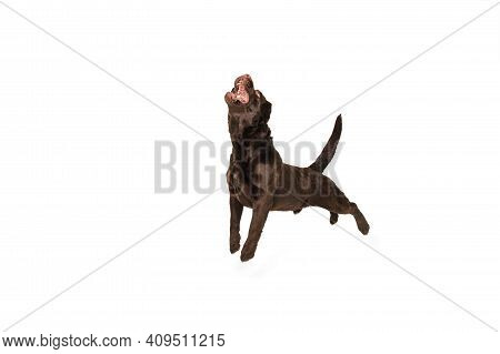 Jumping High. The Brown, Chocolate Labrador Retriever Playing On White Studio Background. Young Dogg