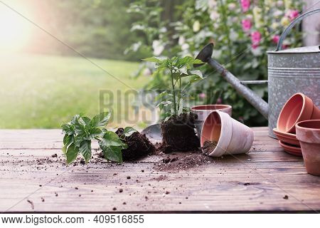 Outdoor Garden Bench With Pepper Plants And Soil Spilling From Clay Pottery In Front Of A Stand Of H